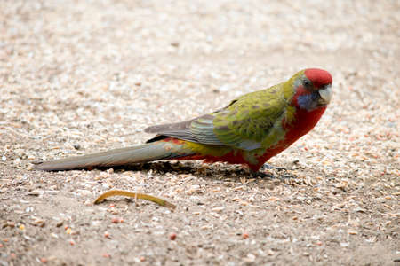 Photo pour the female crimson rosella is mainly green with red and blue - image libre de droit