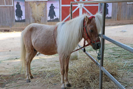 Cream colored horse with long Mane Hair. It is a solid-hoofed plant-eating domesticated mammal with a flowing mane and tail, used for riding, racing, and to carry and pull loads.