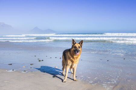 Photo for German Shepherd dog playing on the beach, Cape Town, South Africa - Royalty Free Image