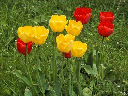 Photo pour Red and yellow tulips - image libre de droit