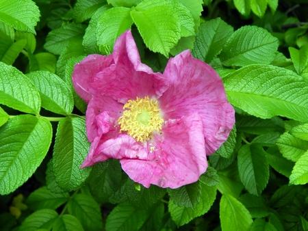 Wild Rose of a dogrose close-up