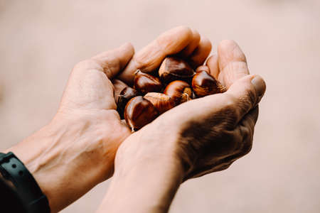 Photo pour A close up of two old hands grabbing and offering a lot of chestnuts with copy space - image libre de droit