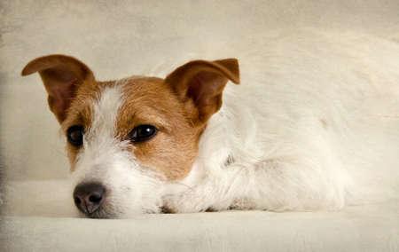 Cucciolo di cane Jack Rusell