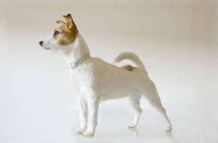 Cucciolo di cane Jack Rusell in posa come una modella