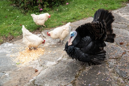 Photo pour Male turkey and three white hens eating on outdoor - image libre de droit