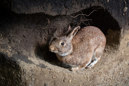 Photo for Scene of a wild rabbit in a burrow. Oryctolagus cuniculus - Royalty Free Image