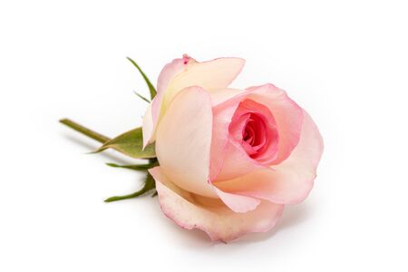 Photo for Pink rose isolated on white background. Love concept - Royalty Free Image