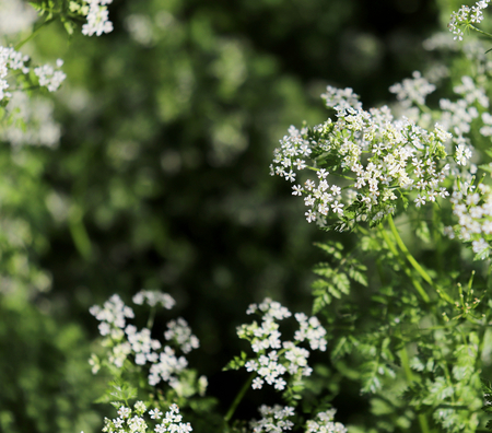 Chervil in the organic garden.Anthriscus or chervil growing in Europe and temperate parts of Asia.Anthriscus cerefolium is cultivated and used in the kitchen to flavor foods,selective focus.