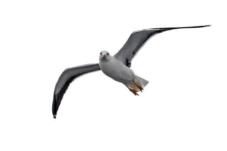 Photo for Isolated flying seagull. Lesser Black-backed Gull (Larus fuscus). - Royalty Free Image