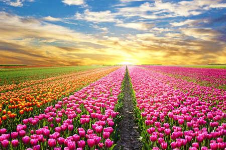 Photo pour A magical landscape with sunrise over tulip field in the Netherlands - image libre de droit