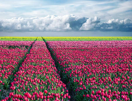 Photo for fabulous stunning magical spring landscape with a tulip field on the background of a cloudy sky and road to the horizon in Holland. Charming places. - Royalty Free Image