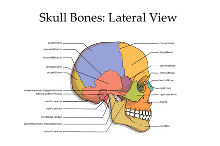 Illustration for Human skull lateral view poster. - Royalty Free Image