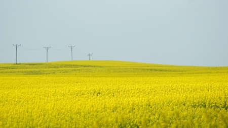 Rape s yellow field until after horizon