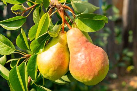 Foto für two ruddy pears are singing on a tree branch, close-up - Lizenzfreies Bild