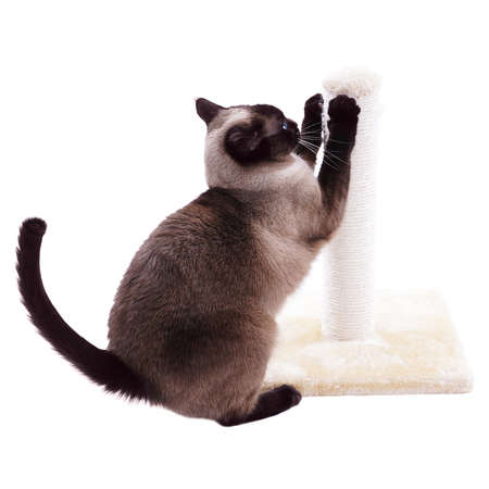 siamese cat with scratcher