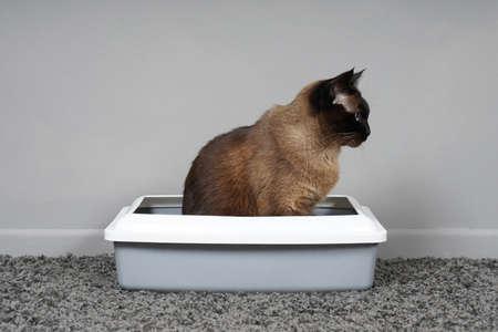 housebroken siamese cat sitting in cat litter box