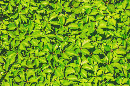 Photo pour Green leaves for decoration of the facade and interior of the summer terrace texture background. - image libre de droit