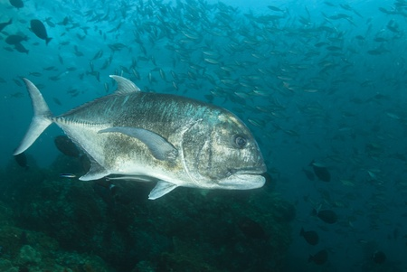 The view of a giant trevally with bannerfish swimming in the background, Raja Ampat, Indonesia