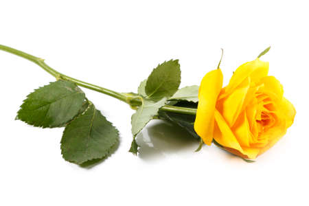 Foto de Yellow rose flower on white background - Imagen libre de derechos