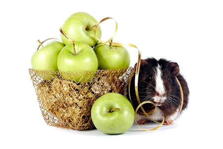 Guinea pigs with apples in a gold basket on a white backgroundの写真素材