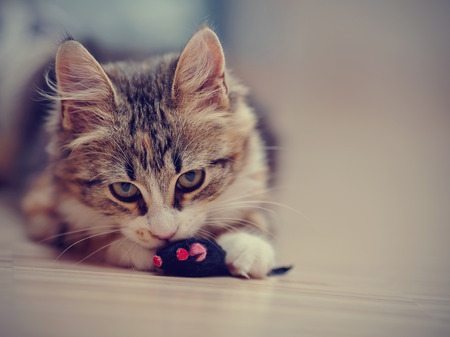 The domestic multi-colored kitten plays with a toy on a floor.