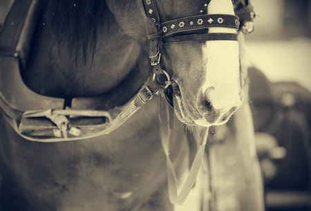 The muzzle is brown draught horse harnessed to a sled.