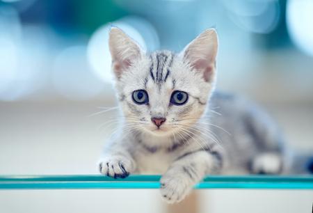 Photo pour Portrait of a gray striped domestic kitten - image libre de droit
