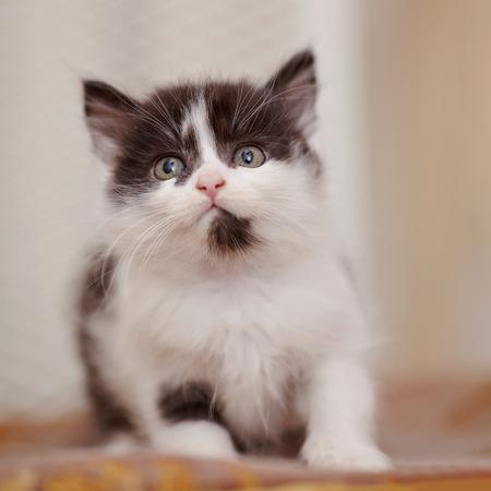 Photo pour Little domestic kitten of a color, white with black spots - image libre de droit