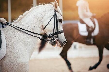 Photo pour Equestrian sport. Portrait sports gray stallion in the double bridle. Dressage horse. - image libre de droit
