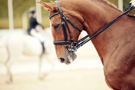 Photo pour Equestrian sport. Portrait sports red stallion in the double bridle. Dressage of horses in the arena. - image libre de droit