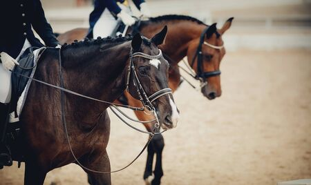 Photo pour Equestrian sport. Portrait sports brown stallion in the double bridle. Dressage of horses in the arena. - image libre de droit