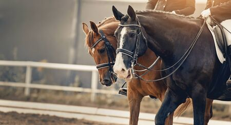 Photo pour Equestrian sport. Portraits of two sports horses, black and red color in the double bridle. Dressage of horses in the arena. - image libre de droit
