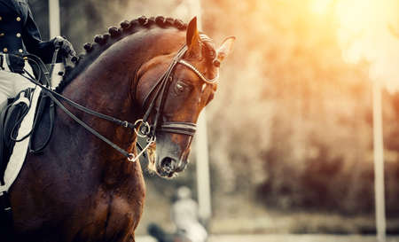 Photo pour Equestrian sport. Portrait sports stallion in the double bridle. Horse muzzle close up. The neck of a sports horse with a braided mane. Dressage of horses in the arena. Horseback riding. - image libre de droit