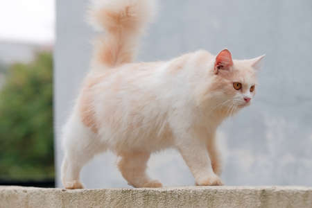 Ginger cat walking on the wall