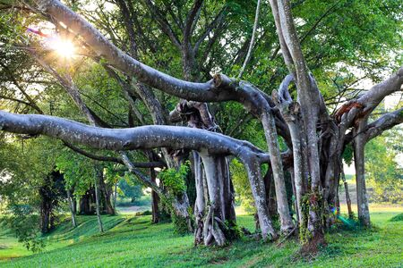 Foto de image of an old tree with evening sun peeking trough its branch - Imagen libre de derechos