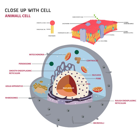 animal cell cross section structure of a Eukaryotic cell Vector diagram