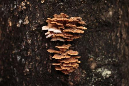 A close up of the Schizophyllum commune mushroom on tree in rainy season in thailand