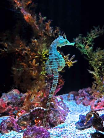 Closeup Big-Belly Seahorse or Hippocampus abdominalis Swim Underwater