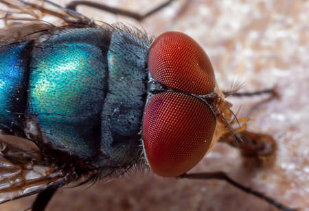 Photo for Macro Photography of Blue Blow Fly on The Floor - Royalty Free Image