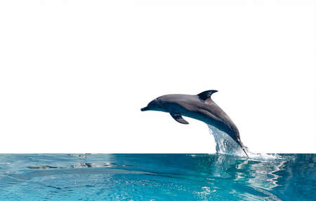Photo for Closeup Dolphin is Jumping on The Water Surface Isolated on White Background with Clipping Path - Royalty Free Image