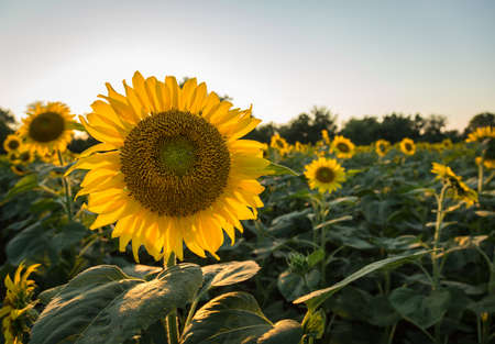 Photo pour Field full of sunflowers in the late evening as the sun sets low in the sky backlighting the brilliant flowers - image libre de droit