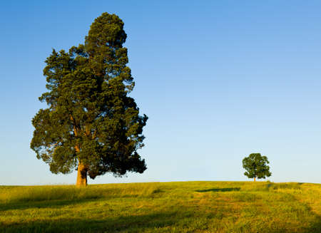 Foto de Large pine type tree with another smaller tree on horizon line in meadow or field to illustrate concept of big and small or parent and child - Imagen libre de derechos