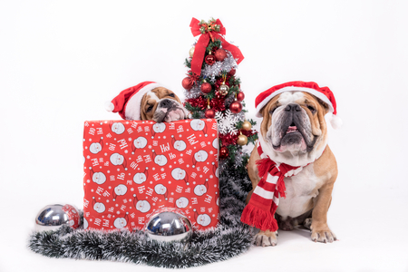 English bulldog with Christmas tree,selective focus and isolated on white background