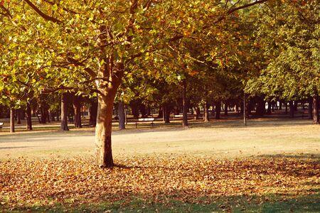 Foto de yellowing sycamore in autumn scenic park. deciduous tree. - Imagen libre de derechos