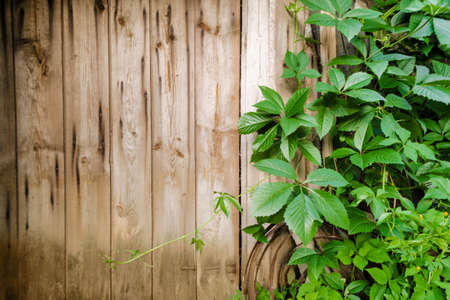 Photo for Wild grape branches with leaves on shabby natural wooden planks in summer. Foliage on vintage brown wall background with copy space. Texture of old boards surrounded by green vines in the garden. - Royalty Free Image