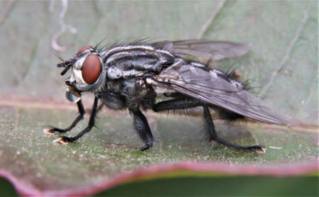 Photo for Macro image of house fly on a leaf drinking from water droplet - Royalty Free Image