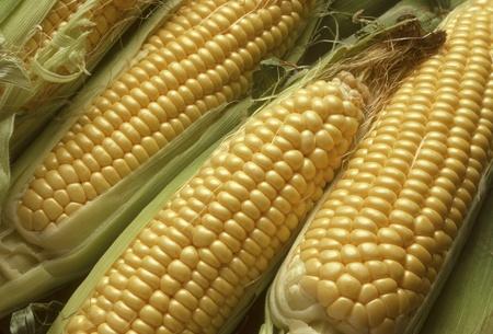 Foto für Ears of Sweet Corn or Maize Husked, Revealing Yellow Kernels - Lizenzfreies Bild