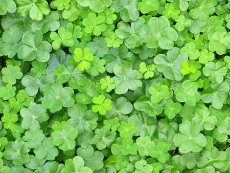 a cluster of green clover