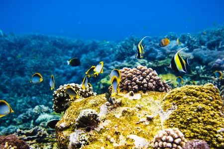 Tropical bright fishes on the coral reef, Indian ocean.