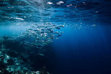 Foto de Wildlife in underwater with school tuna fish in ocean at coral reef - Imagen libre de derechos